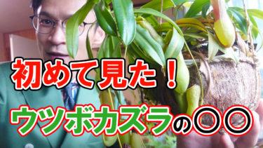 【衝撃映像】生まれて初めて見た!食虫植物ウツボカズラの○○